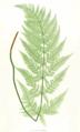 Dryopteris dilatata Moore23.png
