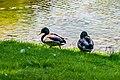 Ducks (40137232051).jpg