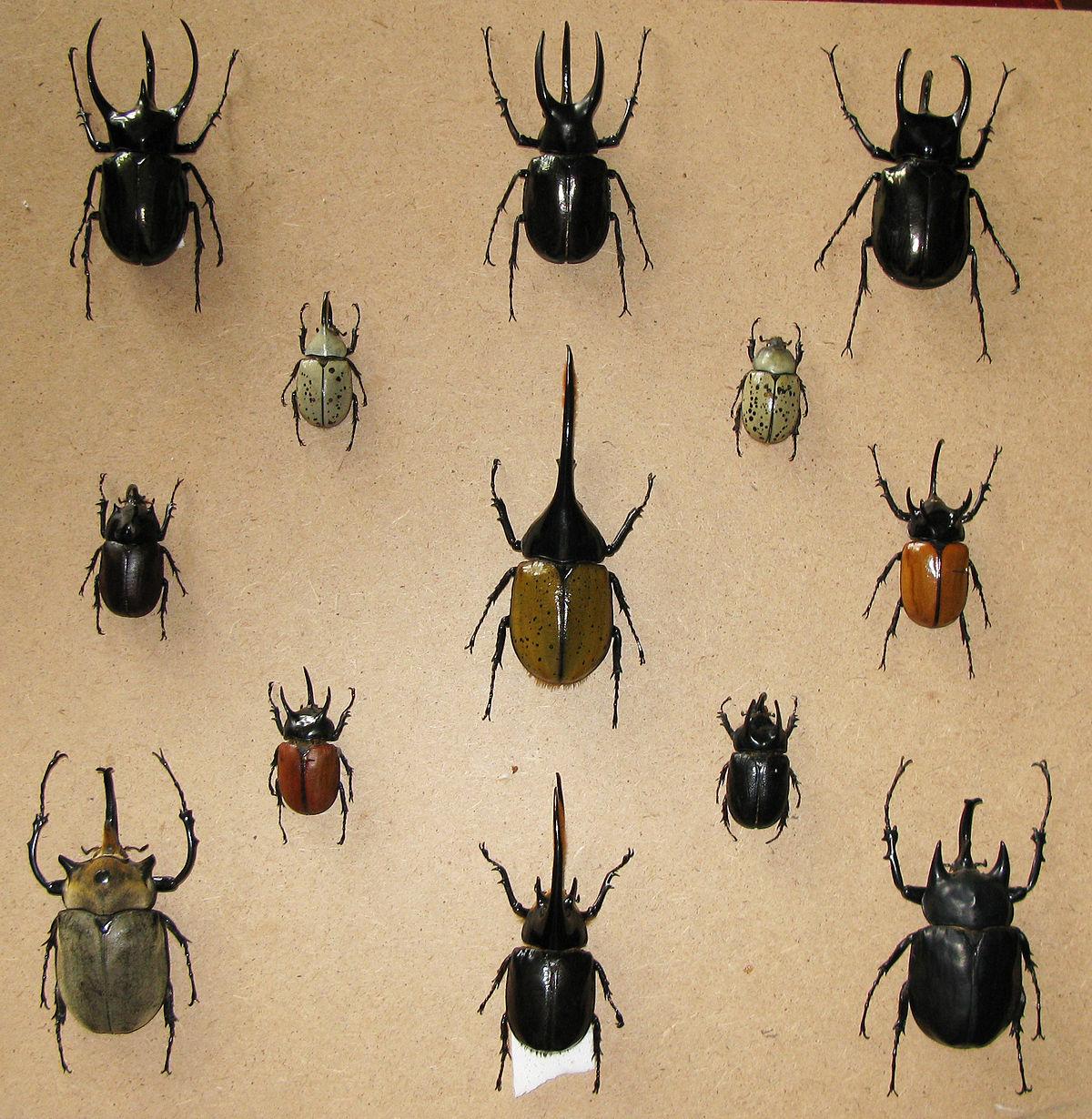 Dynastinae - Wikipedia