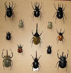 Dynastinae.jpg