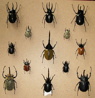 Dynastinae Subfamily of beetles