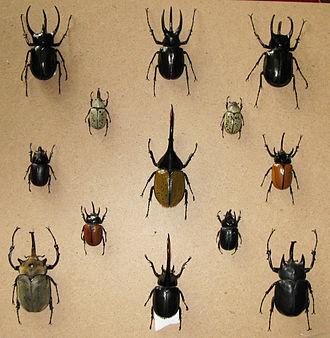 Dynastinae - Image: Dynastinae