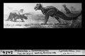 ETH-BIB-Triceratops und Tyrannosaurus, Ende Kreidezeit, westliches Nordamerika-Dia 247-02434.tif