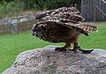 Eagle Owl Taking Off (7913350768).jpg