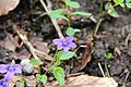Early dog-violet - Viola reichenbachiana - panoramio.jpg
