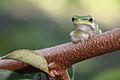 Eastern Dwarf Tree Frog (Litoria fallax) 2.jpg