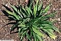 Echinacea paradoxa 3zz.jpg