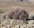 Echinocactus polycephalus 5.jpg