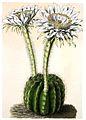 Echinopsis calochlora BlKakteenT61.jpg