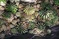 Echinopsis oxygona 0zz.jpg