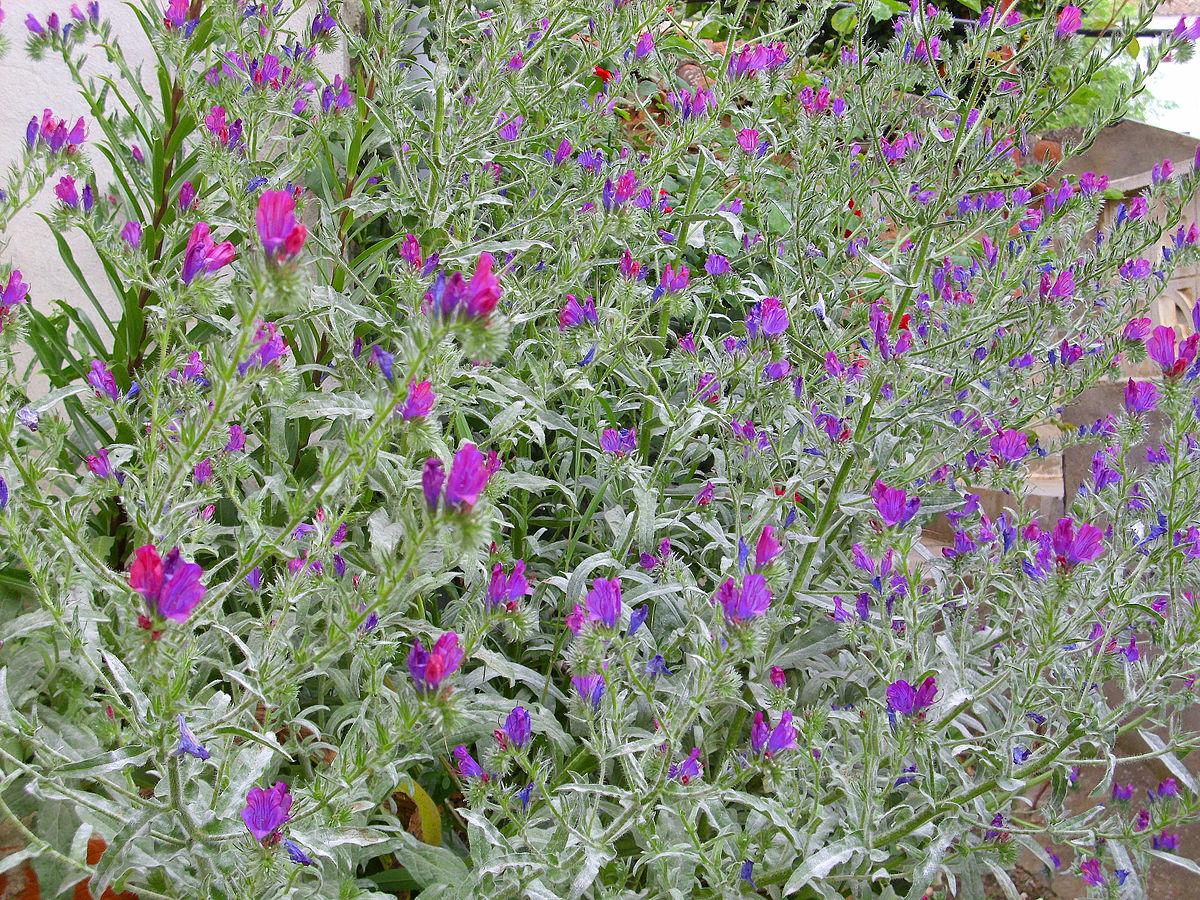 Echium Plantagineum Wikimedia Commons