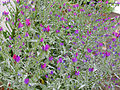 Echium plantagineum Habitus 2011-4-21 SierraMadrona.jpg