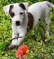 Eddi the Jack Russell Terrier puppy.jpg