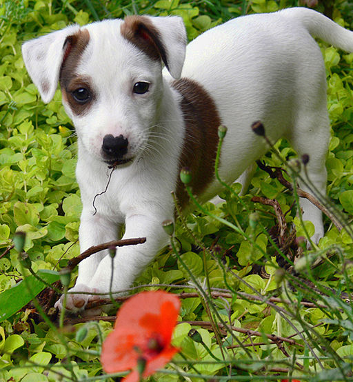Eddi the Jack Russell Terrier puppy
