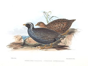 """Himalayan quail - """"Eyebrowed Rollulus"""" - A painting by Edward Lear in J E Gray's """"Gleanings from the Menagerie and Aviary at Knowsley Hall"""" of 1846"""