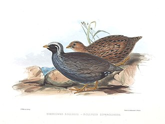 "Himalayan quail - ""Eyebrowed Rollulus"" - A painting by Edward Lear in J E Gray's ""Gleanings from the Menagerie and Aviary at Knowsley Hall"" of 1846"