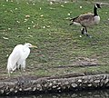 Egret and Goose, Vet Hospital 1-12-14 (12226348235).jpg