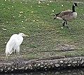 Egret and Goose, Vet Hospital 1-12-14 (12226348235).jpg