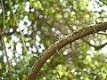 Elaeagnus conferta Roxb. (17144208700).jpg