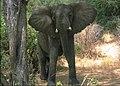 Elefante Lake Manyara Park.jpg