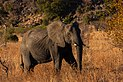 Elefante africano de sabana (Loxodonta africana), parque nacional Kruger, Sudáfrica, 2018-07-25, DD 10.jpg