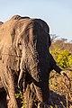 Elefante africano de sabana (Loxodonta africana), parque nacional Kruger, Sudáfrica, 2018-07-25, DD 19.jpg
