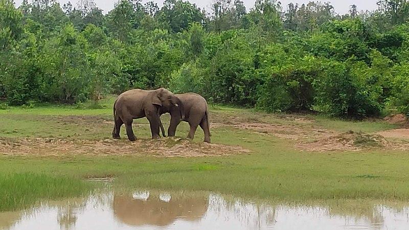 File:Elephas maximus indicus or indian elephants near simlipal national park.jpg