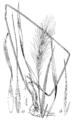Elymus villosus var arkansanus (as E. arkansanus) LS-1901.png