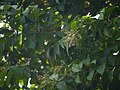 Embelia ribes (17146810079).jpg