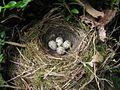 Emberiza cirlus nest eggs.jpg