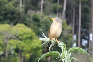 File:Emberizoides herbicola -Piraju, Brasil -nature reserve-8a.ogv