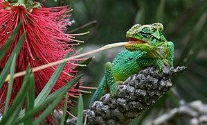 Bradypodion - An emerald dwarf chameleon