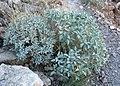 Encelia farinosa 3.jpg