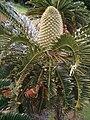 Encephalartos latifrons KirstenboshBotGard09292010E.JPG