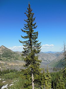 Engelmann spruce on the PCT, Washington.JPG