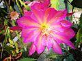 Epiphyllum Pegasus.jpg