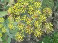 Episyrphus balteatus 6651.jpg