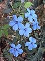Eranthemum capense at Nedumpoil (13).jpg