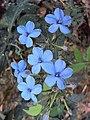 Eranthemum capense at Nedumpoil (14).jpg