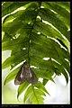 Erebidae (14632407438).jpg