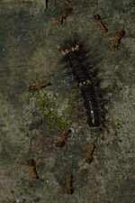 Erebidae larva-Kadavoor-2015-08-21-001.jpg