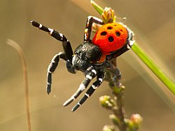 wiki sexual selection spiders