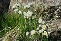 Erigeron strigosus - Flickr - aspidoscelis (1).jpg