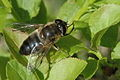 Eristalis.similis.female.jpg