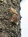 Erthesina fullo mating on the wood - 2.jpg