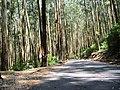 Eucalyptus Grandis Plantation, Gudalur - panoramio (3).jpg