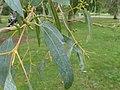 Eucalyptus glaucescens.jpg
