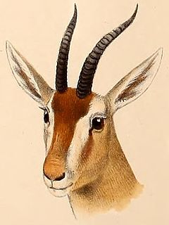 Red gazelle species of mammal