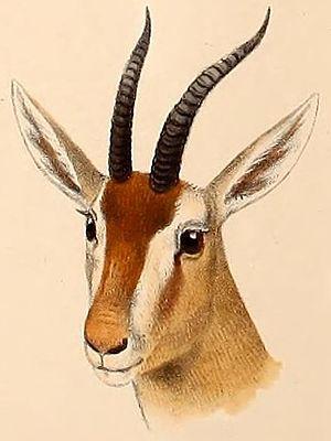 Red gazelle - Image: Eudorcas rufina