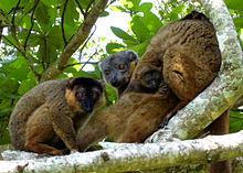 A group of collared brown lemurs sit huddled on a tree limb, with a juvenile clinging to its mother's abdomen.